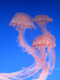 Jellyfish. Pink jellyfish in the blue water Royalty Free Stock Images