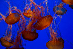 Jellyfish. Many jellyfish swimming in blue water Stock Photography