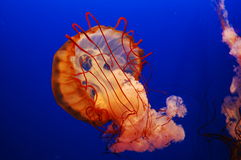 The jellyfish Stock Photos