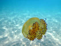 Jellyfish. Yellow jellyfish in blue waters in Chalkidiki - Greece royalty free stock images