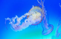 Jellyfish Royalty Free Stock Photos