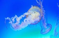 jellyfish Zdjęcia Royalty Free
