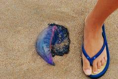 Jellyfish. Jelllyfish on the beach Royalty Free Stock Photography