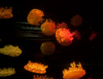 jellyfish Στοκ Εικόνα