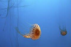Jellyfish Royalty Free Stock Image