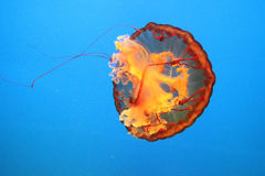 Jellyfish. One orange jellyfish moves in the water Stock Image