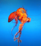 Jellyfish. Two orange jellyfish move in water Stock Image