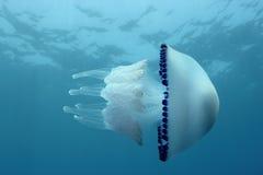 Jellyfish Στοκ φωτογραφίες με δικαίωμα ελεύθερης χρήσης