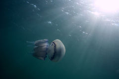 Jellyfish. Stock Photography