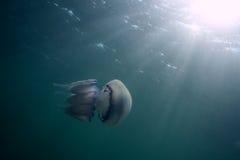 Jellyfish. Στοκ Φωτογραφία