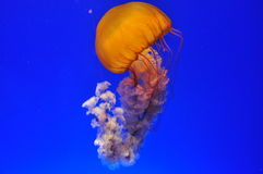 Glowing jellyfish in aquarium Royalty Free Stock Photos