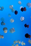 Jellyfish. Different kinds of jellyfish swim in the water Stock Images
