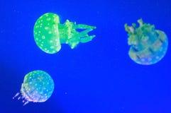 Jellyfish. Marine mollusks, slowly swimming jellyfish Royalty Free Stock Photography