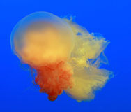 Jellyfish Royalty Free Stock Images