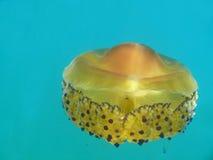 jellyfish Στοκ εικόνες με δικαίωμα ελεύθερης χρήσης