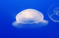 Jellyfish Obraz Stock