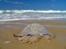 Jellyfish. Nice jellyfish on the beach Stock Photography
