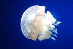 Free Jellyfish Royalty Free Stock Image - 335646