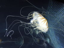 Jellyfish Obraz Royalty Free