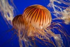 Jellyfish. Northern Sea Nettle Jellyfish Stock Photos