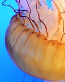 Jellyfish Zdjęcie Royalty Free