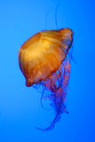 Jellyfish. See, how soft the jelly fish is. I love the colr and shape Royalty Free Stock Photo
