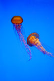 Jellyfish. See, how soft the jelly fish is. I love the colr and shape Stock Photo