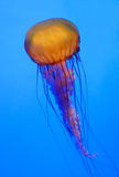 Jellyfish. See, how soft the jelly fish is. I love the colr and shape Royalty Free Stock Image