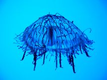 Jellyfish. In aquarium on the blue backround Stock Images