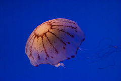 Jellyfish #5. A single jellyfish on a blue drop royalty free stock images