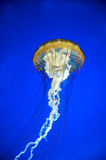 Jellyfish. A jellyfish against a blue background Royalty Free Stock Photos
