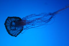 Jellyfish. A jellyfish against a blue background stock image