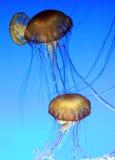 003 jellyfish Στοκ φωτογραφίες με δικαίωμα ελεύθερης χρήσης
