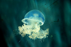 Jellyfish. A Blue jellyfish in aquarium Royalty Free Stock Photo