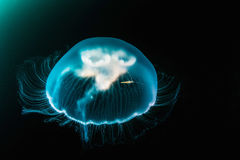 Jellyfish (aequorea victoria) in deep sea. Royalty Free Stock Image