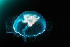 Jellyfish (aequorea Victoria) w głębokim morzu obraz royalty free