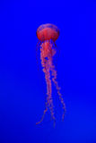 Jellyfish against deep blue background Royalty Free Stock Photo