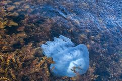 Jellyfish among algae in sea waters. Blue blubber jellyfish among algae in the shallows of rocky sea bay waters closeup from above view Stock Photos