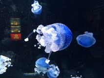 Jellyfish. In aquarium Stock Photo