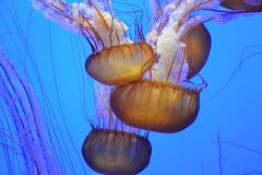 Jellyfish in aquarium Stock Photography
