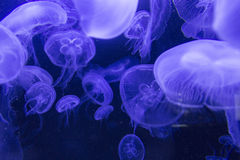 Jellyfish in Aquarium Royalty Free Stock Photography