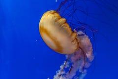 The jellyfish in a aquarium Stock Image