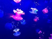 Jellyfish in aquarium Stock Photo