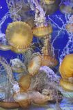 Jellyfish. A jellyfish in an aquarium royalty free stock images
