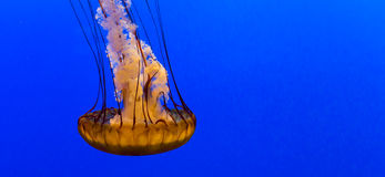 Jellyfish in an aquarium Royalty Free Stock Images