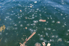 Jellyfish Aurelia in polluted water. Royalty Free Stock Photo