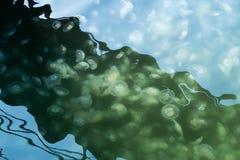 Jellyfish Aurelia in water. Royalty Free Stock Images