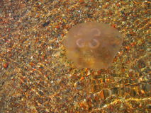 Jellyfish in Baltic sea. Jellyfish in water in Baltic sea , Lithuania Royalty Free Stock Image