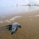 Jellyfish on beach. A Portugese man-of-war jellyfish (Physalia physalis) lying on the beach. South Padre Island, Texas Stock Photo