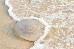 Jellyfish on the beach. Royalty Free Stock Photos